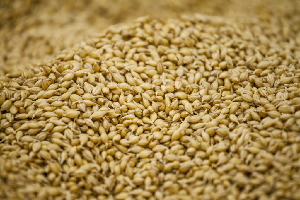 Germination of barley